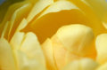 [園芸][花]グラハムトーマス 2011-05-18 11:10:19