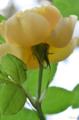 [園芸][花]グラハムトーマス 2011-05-18 11:16:04