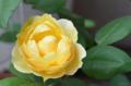 [園芸][花]グラハムトーマス 2011-05-18 11:25:29