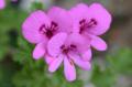 [園芸][花]シナモン・ゼラニウム 2011-05-18 11:23:31
