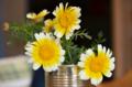 [花]春菊の花 2011-06-06