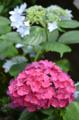 [花]紫陽花 2011-06-15 10:59:26