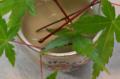 [園芸]モミジ 2011-06-21 16:11:47