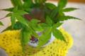 [園芸]モミジ 2011-05-26 10:45:22