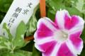[東京][街角][花]文京朝顔ほおずき市 2011-07-23 09:23:59