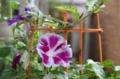 [園芸][花]朝顔(曜白) 2011-07-29 08:24:53