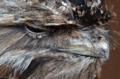 [鳥]オーストラリア ガマグチヨタカ