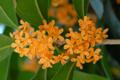 [花]モクセイの花 2011-10-04 14:06:54