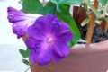 [園芸][花]朝顔 2011-10-26 06:31:33