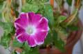 [園芸][花]朝顔(曜白)2011-11-04 08:17:25