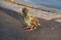 [ロンドン][野鳥]ケンジントンガーデンズにいたホシムクドリ 2011-12-03 14:11:59