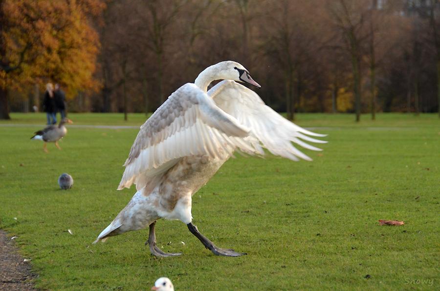 ケンジントンガーデンズの白鳥 2011-12-03 14:05:50