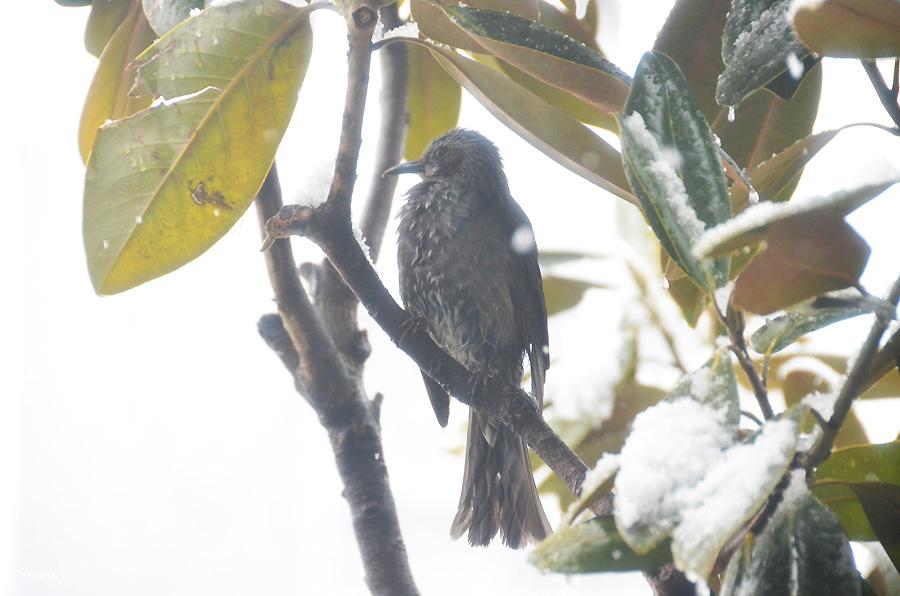 雪の日のヒヨドリ 2012-02-29 11:06:39