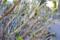 不忍池の紫陽花 2012-03-13 15:29:46