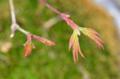 [園芸][盆栽]紅葉の盆栽 2012-02-22