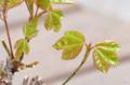 [園芸]楓の盆栽  2012-02-22