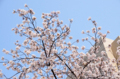 [東京][街角][桜]藍染大通り 2012-04-06