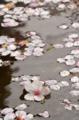 [東京][街角][桜]藍染大通り 2012-04-11