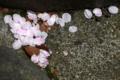 [東京][街角][桜]根津二丁目児童遊園 2012-04-12