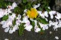 [東京][街角][桜][植物]根津 2012-04-12