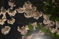 [東京][街角][桜]藍染大通り 2012-04-07