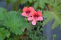 [園芸][花]2012-04-24 ペラルゴニウム・エンジェルアイズ・オレンジ