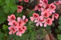 [園芸][花]2012-05-08 ペラルゴニウム・エンジェルアイズ・オレンジ