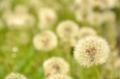 [植物]タンポポ@根津 2012-05-09