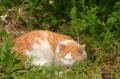 [猫]猫野原@根津 2012-05-09