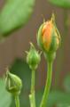 [園芸][花]グラハム・トーマス 2012-05-09
