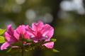 [東京][神社]根津神社 2012-05-12
