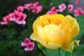 [園芸][花]2012-05-14 グラハム・トーマス