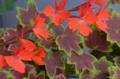 [園芸][花]2012-05-14 バンクーバー・センティニアル