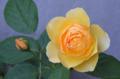 [園芸][花]グラハムトーマス 2012-05-19