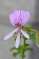 [園芸][花]斑入りレモン・ゼラニウム 2012-05-20