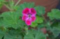 [園芸][花]クロリンダ・ゼラニウム 2012-05-20