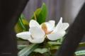 [街角]タイサンボクの花 2012-06-01