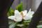 タイサンボクの花 2012-06-01