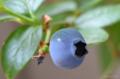 [園芸]ブルーベリー 2012-06-04