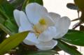 [花]タイサンボク 2012-06-04