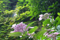 [東京][街角]蔦の窓と紫陽花@根津 2012-06-11