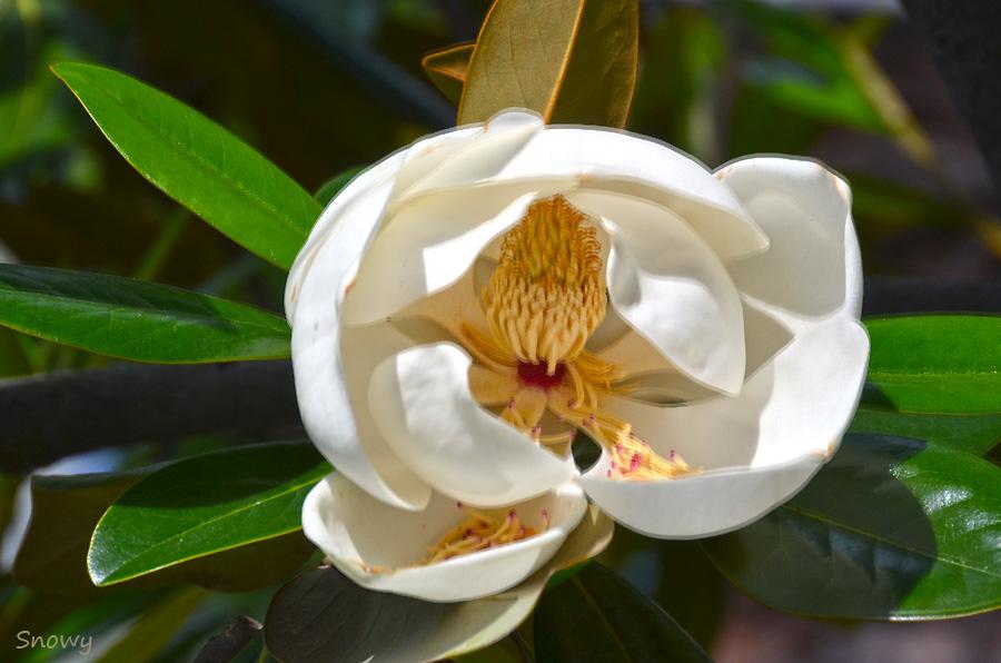 タイサンボク 2012-06-15