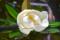 タイサンボク 2012-06-14