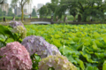 [東京][街角][公園]不忍池 2012-06-15