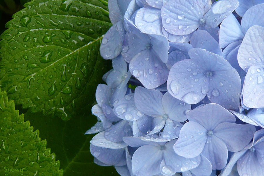 紫陽花 2008-06-02 09:22:53