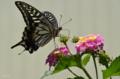 [花][昆虫]キアゲハ@藍染大通り 2012-06-26