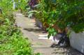 [猫]根津 2012-06-29