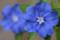 2012-07-03 エボルブルス(アメリカンブルー)