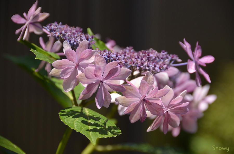 紫陽花 2012-06-26@根津