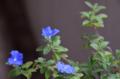 [花]アメリカンブルー 2012-07-11
